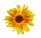Sunflower, isolated on white background — Stock Photo