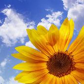 O céu azul com girassol, fundo — Foto Stock