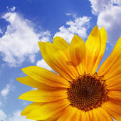 The blue sky with sunflower, background — Stock Photo