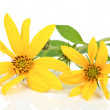 Stock Photo: Jerusalem artichoke flower