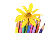 Jerusalem artichoke flower and color pencil — Stock Photo