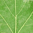 Plane tree leaf — Stock Photo