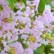 Stock Photo: Crape myrtle