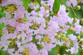 Crape myrtle — Stock Photo