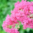 Stock Photo: Crape myrtle flower