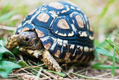 Detail of leopard turtle — Stock Photo