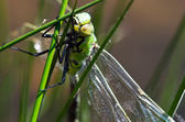 Dragonfly hunts insects — Stock Photo