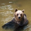 Young bear in the water (Ursus arctos) — Stock Photo #11345565