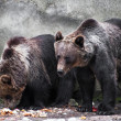 Stock Photo: Two bear brothers (Ursus arctos)