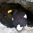 Nosy Stellers sea eagle — Stock Photo
