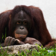 Stock Photo: Female of orangutrelaxing (Pongo pygmaeus)