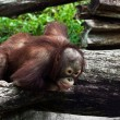 Young orangut(Pongo pygmaeus) — Stock Photo #11345577