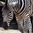Zebra Chapman (Equus quagga chapmani) - Stock Photo