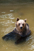 Young bear in the water (Ursus arctos) — Stock Photo