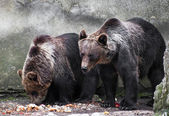 Two bear brothers (Ursus arctos) — Stock Photo