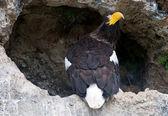 Stellers sea eagle — Stock Photo