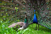 Peacock pair (Pavo cristatus) — Stock Photo