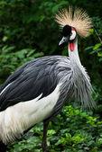 Crested Crane (Balearica regulorum gibbericeps) — Stock Photo
