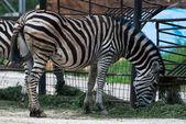 Zebra Chapman (Equus quagga chapmani) — Stock Photo