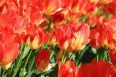 Flower,tulip — Stock Photo