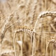 Wheat closeup — Stock Photo #10991480
