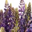 Lupin on white — Stock Photo