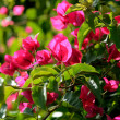 Bougainvillea - Stock Photo