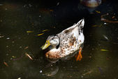 Duck male — Stock Photo