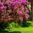 Bougainvillaea — Stock Photo