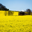 Rape Field — Stock Photo