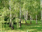 Birch Grove — Stock Photo