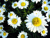 Daisy close-up — Stock Photo