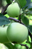 Green apple on a branch — Stock Photo