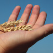 Ears of wheat in the hands of male — Stock Photo