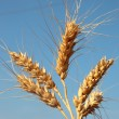 Royalty-Free Stock Photo: Ears of wheat in the sky