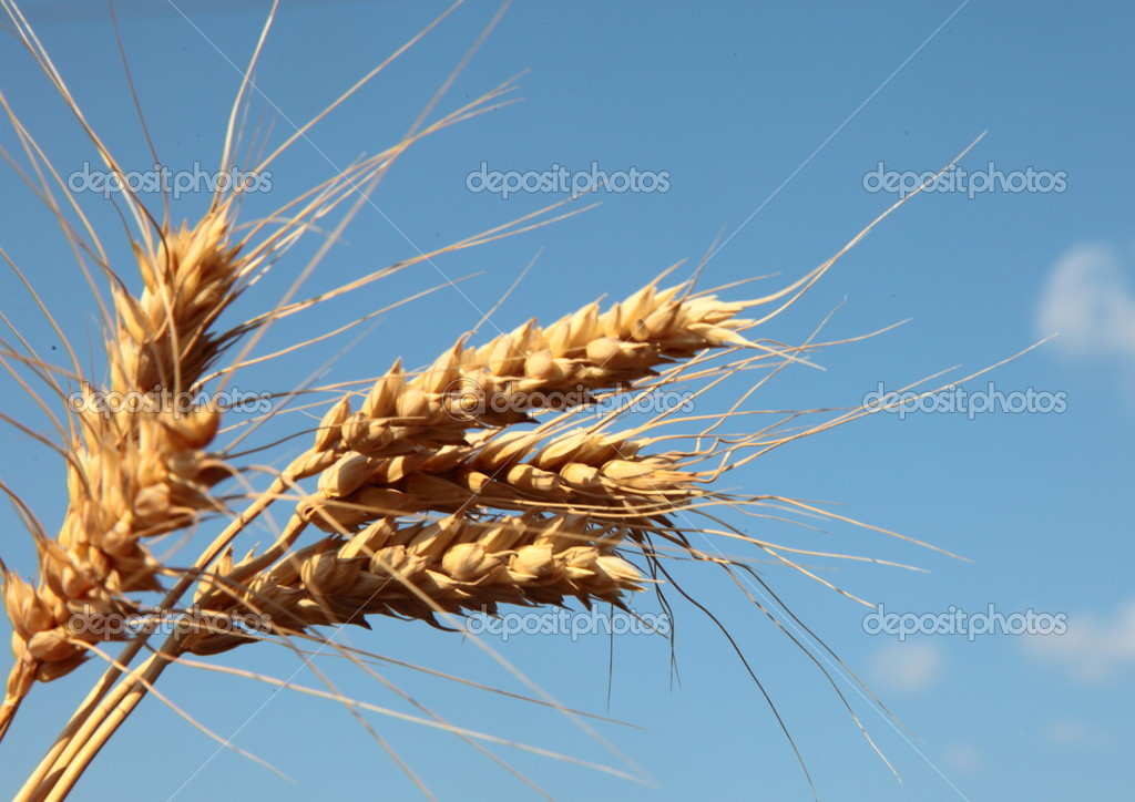 Ears of wheat in the sky — Stock Photo #11688246
