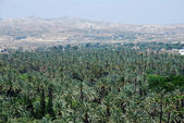 Palm trees in Elche — Stock Photo