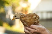 Brown Chick — Stockfoto