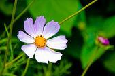 Daisy summer white flower — Stock Photo