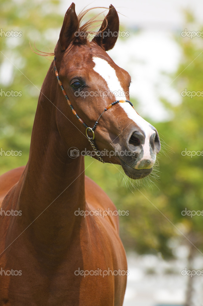 Arabian stallion in paddock — Stock Photo #11956284