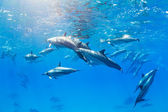 Dolphins Underwater — Stock Photo
