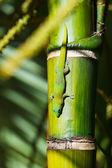 Lézard gecko vert — Photo