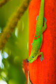 Tropical Lizard — Stock Photo