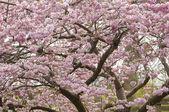 Bahar süs kiraz ağacı — Stok fotoğraf