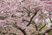 Cerezo ornamental en primavera — Foto de Stock