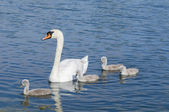 Parent swan with offspring — Stock Photo