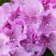 Pink azalea flowers close up — Stock Photo