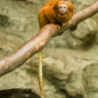 Lion tamarin monkey — Stock Photo