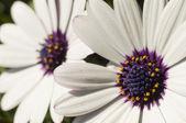 Stokrotka kwiat detal — Zdjęcie stockowe