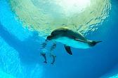 Delfiner under vatten — Stockfoto